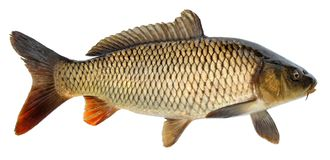 Free Crucian Carp Fish Isolated. Side View, Raised Fins. Isolated Stock Image - 126971281