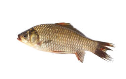 Crucian carp fish on white background Stock Photo