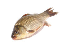 Crucian carp fish on white background. Crucian carp fish isolated on white background. Focus on head stock images