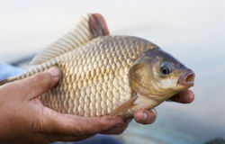 Crucian carp in fisherman's hands Stock Photos