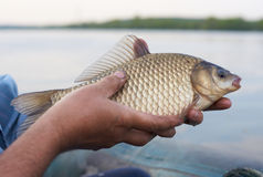 Crucian carp in fisherman's hands Royalty Free Stock Photography