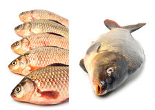 Crucian carp fishes Stock Photo