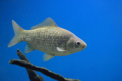 Crucian carp. Floating in water Royalty Free Stock Photography