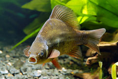 Crucian carp Royalty Free Stock Images