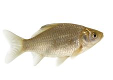 Crucian carp -isolated (Carassius carassius) royalty free stock photography