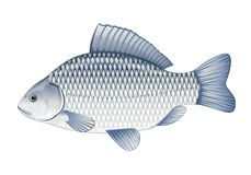 Crucian carp. Realistic crucian carp, eps10 illustration with transparent objects, isolated Stock Photos