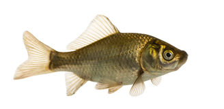 Crucian carp swimming, Carassius carassius Stock Photos