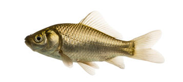 Crucian carp swimming, Carassius carassius,. Isolated on white stock photography