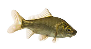 Crucian carp swimming, Carassius carassius, isolated. On white royalty free stock photos