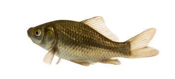 Crucian carp swimming, Carassius carassius, isolated. On white stock photography