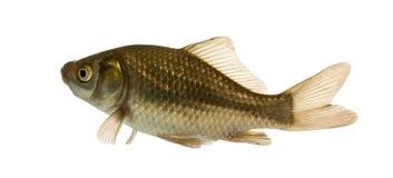 Crucian carp swimming, Carassius carassius, isolated stock photography