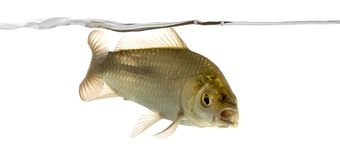 Crucian carp swimming under water line, Carassius carassius. Isolated on white stock photography