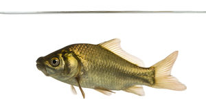Crucian carp swimming under water line, Carassius carassius Stock Image
