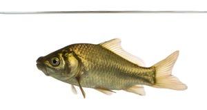 Crucian carp swimming under water line, Carassius carassius stock image
