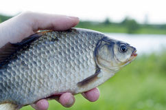 Crucian. Catch fresh fish from the morning fishing on a lake in summer Stock Image