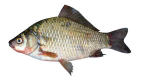 Crucian fish Royalty Free Stock Photo