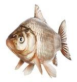 Crucian fish Stock Photos