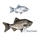 Crucian fish vector isolated sketch icon Royalty Free Stock Photos