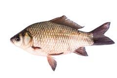 crucian fisk Arkivfoton