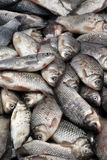 Crucian, fresh fish in the market-2. Carp, fresh fish on sale in the market Stock Image