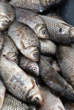 Crucian, fresh fish in the market-4. Carp, fresh fish on sale in the market Royalty Free Stock Images