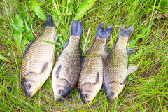 Crucian on a green grass Royalty Free Stock Image