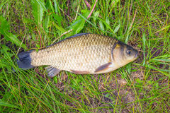 Crucian on a green grass Stock Images