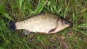 Crucian on a green grass. A small crucian on a green grass. Fishing for crucian carp. Carassius stock footage