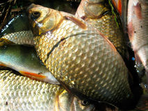 Crucian Royalty Free Stock Images