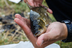 Crucian on the palm Royalty Free Stock Photos