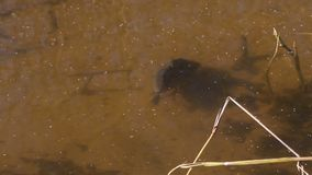 Crucian in a pond underwater. The wild crucian floats in a pond on shoal stock video