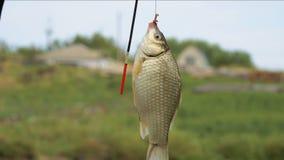Crucianon pequeno dos peixes em um gancho filme