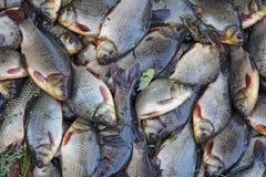 Crucians presi su erba verde Riuscita pesca Molto carassius carassius del carassio Pesce fresco del fiume interferito immagini stock libere da diritti