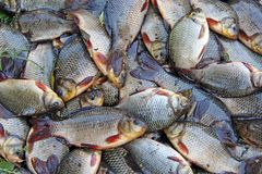Crucians presi su erba verde Riuscita pesca Molto carassius carassius del carassio Pesce fresco del fiume interferito fotografia stock