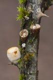 Crucibulum laeve Stock Foto's