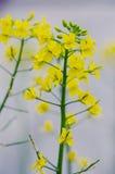 Cruciferous цветки стоковая фотография rf