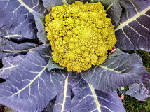 Cruciferous califlower. A large bright yellow cruciferous califlower with large purple leaves Stock Photo