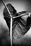 Crucified heart shaped leaf. Leaf back close up in black and white Stock Image