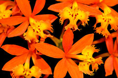 Crucifix orchid epidendrum radicans Royalty Free Stock Photo