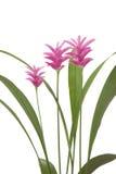 Crucuma Pink Pearl Stock Images
