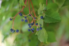 Crude grapes on tree. Black grapes and green floral background Royalty Free Stock Photo