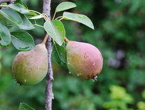 Crude Pears Stock Images