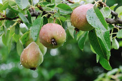 Crude Pears Stock Photo