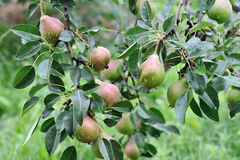 Crude Pears Royalty Free Stock Photography