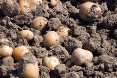 The crude potato tubers Royalty Free Stock Image