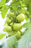 Crude Tomatoes Royalty Free Stock Photography