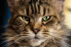 Cruel cat from cold siberia. Very angry cat that live in my flat. it likes to sleep an eat Royalty Free Stock Photo