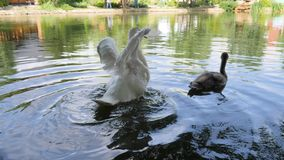 Cruel treatment with wild animals, bird with Trimmed wings swim In lake, white swan Can not fly, avians swim in river stock video