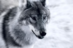 Cruel Wolf. A cruel wolf wandering on the field Royalty Free Stock Photography