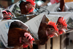 Cruelty Towards Animals. Live Chickens being wrapped mercilessly for sale in Asian Market - image depicting human cruelty act towards animals royalty free stock images